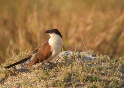 Roger Dugmore Safaris Coucal