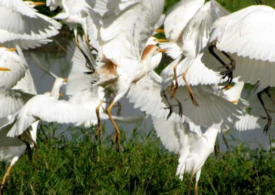 Egrets in flight Roger Dugmore Safaris