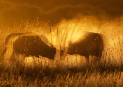 Gemsbok silhouetted in the sunset Roger Dugmore Safaris