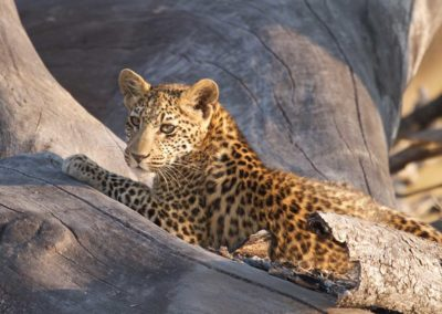Leopard cub spotted on Roger Dugmore Safaris game drive