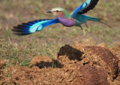 Lilac breasted roller seen on Roger Dugmore Safaris game drive