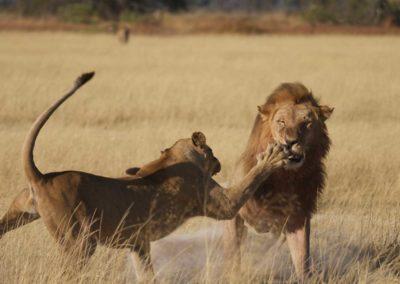 Lions having a tussle Roger Dugmore Safaris