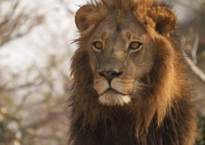 Male lion sighted on Roger Dugmore Safaris game drive