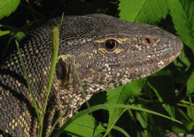 Monitor lizard Roger Dugmore Safaris