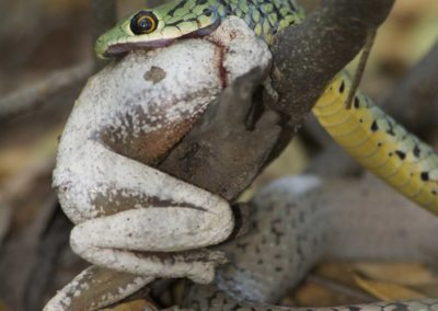 Snake eating a frog Roger Dugmore Safaris