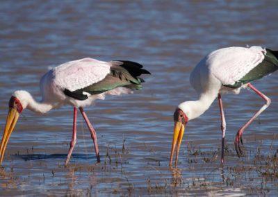 Yellow Billed Storks Roger Dugmore Safaris